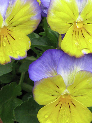 Photograph - Perfectly Pansy 14 by Pamela Critchlow