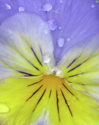 Photograph - Perfectly Pansy 15 by Pamela Critchlow