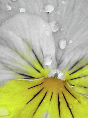 Photograph - Perfectly Pansy 16 - Bw - Yellow by Pamela Critchlow