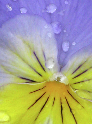 Photograph - Perfectly Pansy 16 by Pamela Critchlow