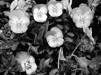 Photograph - Perfectly Pansy 18 - Bw - Water Paper by Pamela Critchlow