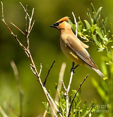 Cedar Waxing Photograph - Perfectly Perched by Adam Jewell