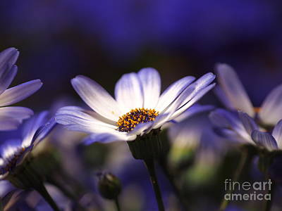 Pericallis On A Cool Spring Evening 2 Art Print by Dorothy Lee