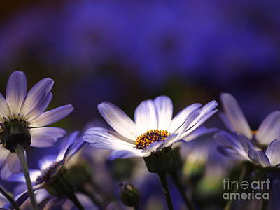 Pericallis On A Cool Spring Evening 4 Art Print by Dorothy Lee
