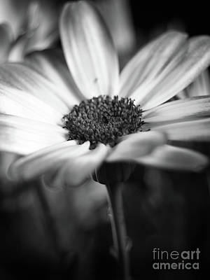 Pericallis Senetti Blue Bicolor In Monochrome 4 Art Print