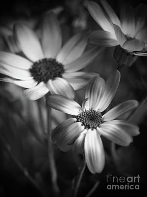 Pericallis Senetti Blue Bicolor In Monochrome Art Print