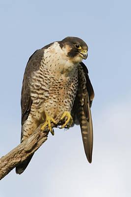 Photograph - Perigrine Falcon by Craig Strand