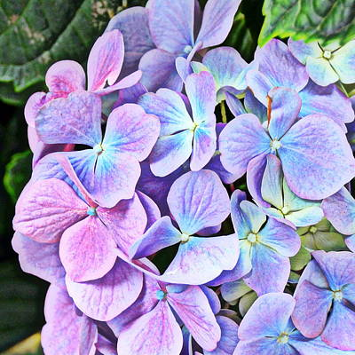 Photograph - Periwinkle Blue And Pinkish Purple Hydrangeas by Carla Parris