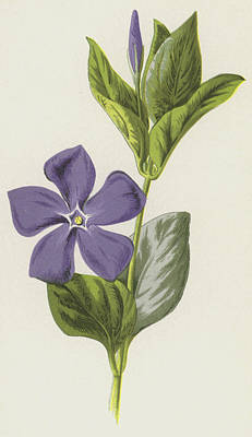 Periwinkle Painting - Periwinkle by Frederick Edward Hulme