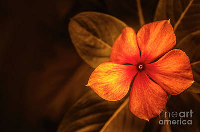 Photograph - Periwinkle In Orange by Charuhas Images