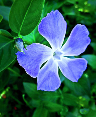 Photograph - Periwinkle by Joyce Dickens