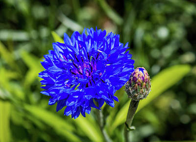 Photograph - Perky Cornflower by Susie Weaver