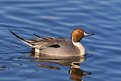 Photograph - Perky Pintail by Kathleen Bishop