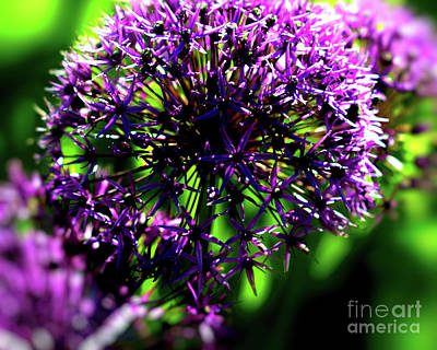 Photograph - Purple Allium  Ornamental Onion by Baggieoldboy
