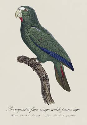 Love Birds Photograph - Le Perroquet A Face Rouge Male, Jeune Age / Cuban Amazon - Restored 19thc. Illustration By Barraband by Jose Elias - Sofia Pereira