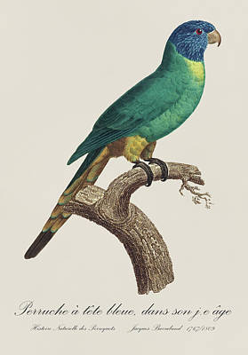 Fauna Painting - Perruche A Tete Bleue, Jeune / Rainbow Lorikeet, Young - Restored 19thc. Illustration By Barraband by Jose Elias - Sofia Pereira