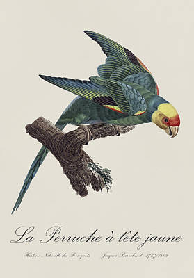 Fauna Painting - Le Perruche A Tete Jaune / Carolina Parakeet - Restored 19th Century Illustration By Barraband by Jose Elias - Sofia Pereira
