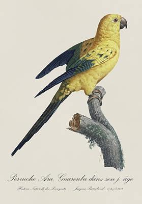 Bird Illustration Painting - Perruche Ara Guarouba Jeune Age / Sun Parakeet Or Conure - Restored 19thc. Illustration By Barraband by Jose Elias - Sofia Pereira