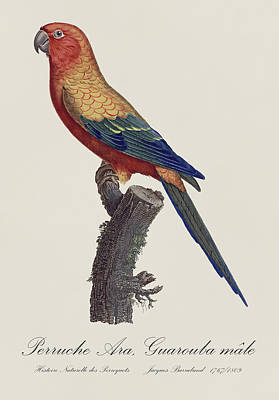 Natural History Painting - Perruche Ara Guarouba Male / Sun Parakeet Or Sun Conure  - Restored 19thc. Illustration By Barraband by Jose Elias - Sofia Pereira