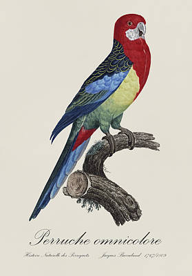 Exotic Birds Painting - Perruche Omnicolore / Eastern Rosella - Restored 19th Century Illustration By Jacques Barraband by Jose Elias - Sofia Pereira