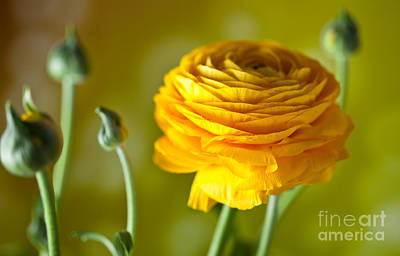 Royalty-Free and Rights-Managed Images - Persian Buttercup Flower by Nailia Schwarz