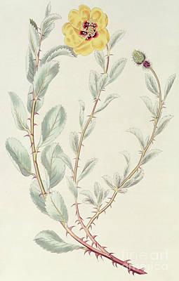 Persian Rose Art Print