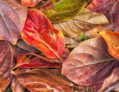 Photograph - Persimmon Leaves 1 by Jonathan Nguyen