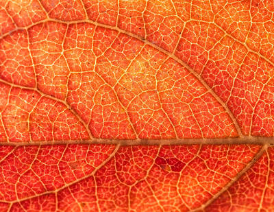 Photograph - persimmon Leaves 3 by Jonathan Nguyen
