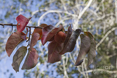 Photograph - Persimmon Leaves by Elaine Teague