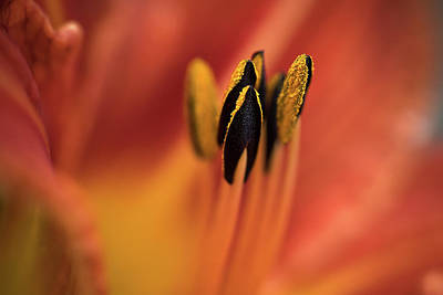 Photograph - Persimmon Lilly by Deborah Scannell
