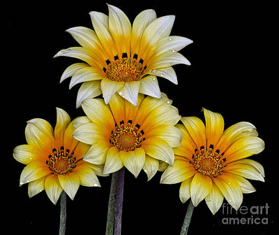 Photograph - Peruvian Daisies by Shirley Mangini