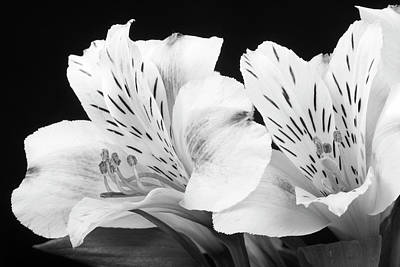 Photograph - Peruvian Lilies Botanical Black And White Print by James BO Insogna