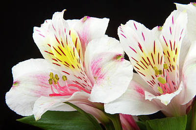 Peruvian Lilies Colorful Botanical Fine Art Print Print by James BO  Insogna