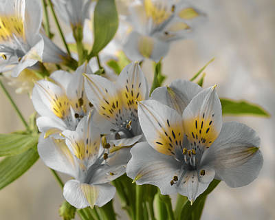Photograph - Peruvian Lily by Ann Bridges