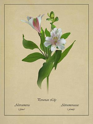 Digital Art - Peruvian Lily Botanical by M Spadecaller