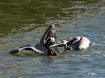 Photograph - Pesky Pelican by Dan Williams