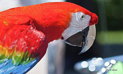 Photograph - Pet Parrot by Mark Alesse