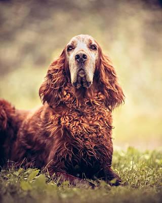 Pet Portrait - Red Irish Setter Dog Art Print