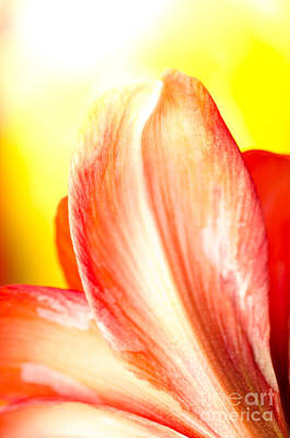 Amaryllis Photograph - Petal Flare Petal Study Into Bright Light On Yellow Background by Andy Smy