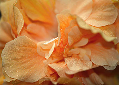 Photograph - Petal Power. Apricot Hibiscus Macro by Connie Fox