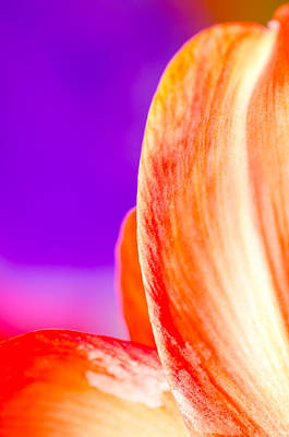 Petal Purple Red Amaryllis Petal Study Against A Purple Background Art Print