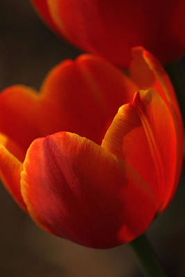 Photograph - Red Tulip Closeup by Carolyn Jacob