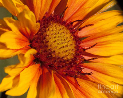 Gaillardia Photograph - Petals Of Fire by Katie LaSalle-Lowery