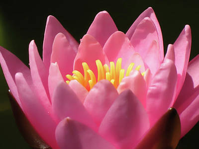Photograph - Petals Of Pink - Water Lily by MTBobbins Photography