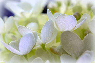 Photograph - Petals Of White by Lisa Wooten