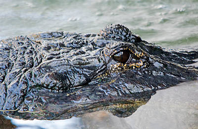 Photograph - Pete The Alligator by Kenneth Albin