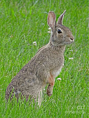 Photograph - Peter Cottontail by Kathy M Krause