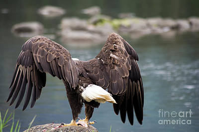 Photograph - Petersburg Ak Bald Eagle Takeoff by Louise Magno