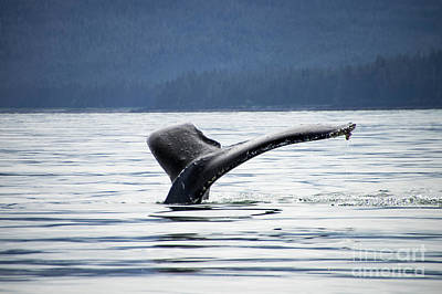 Photograph - Petersburg Ak Whale Tale 5 by Louise Magno