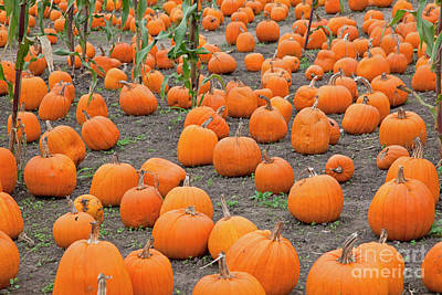 Petes Pumpkin Patch Print by John Stephens